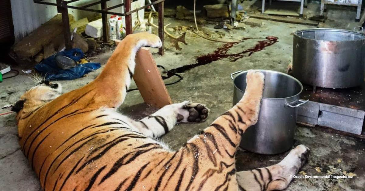 czech tiger w
