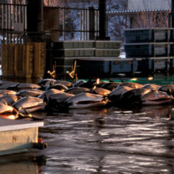Dall's porpoises unloaded for sale at Otsuchi, Japan