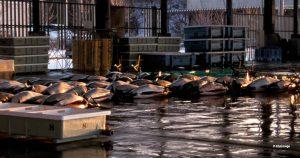 Dall's porpoises unloaded for sale at Otsuchi, Japan