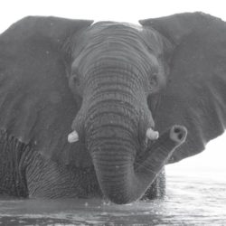 African elephant in water