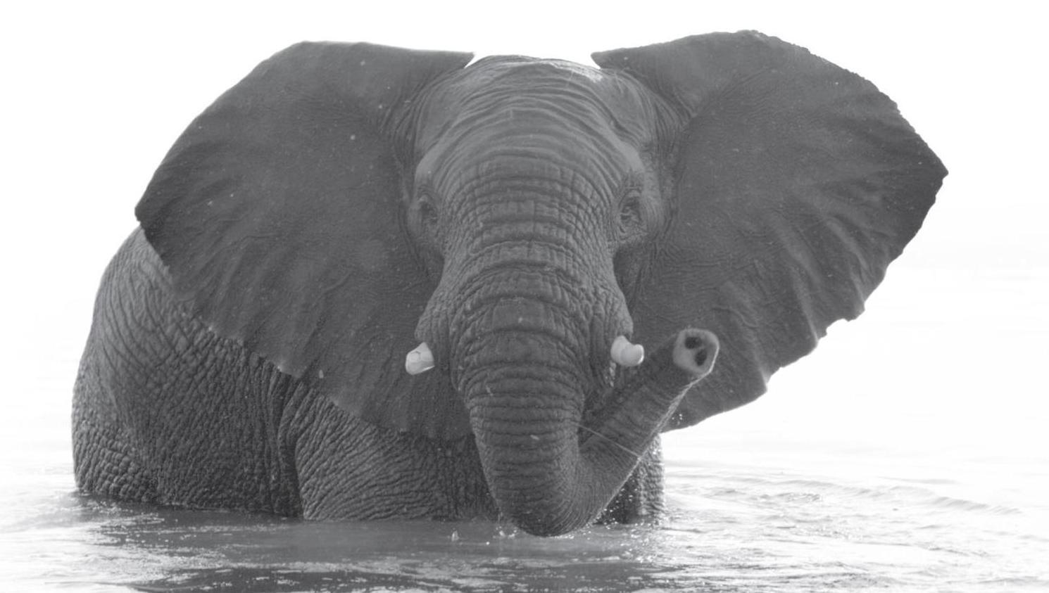Elephant. Credit Jason Cheng