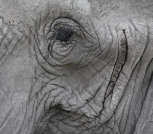 Elephant (c) EIA