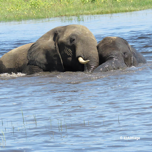 elephants, Botswana, Chobe River3