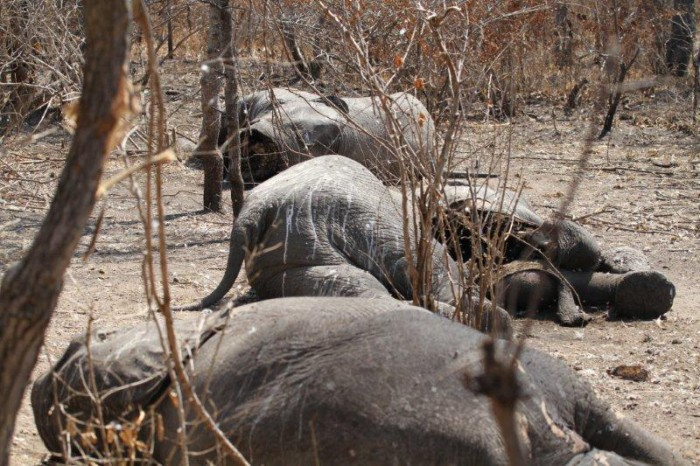 Slaughtered family group of elephants in Tanzania, 2012 (c) Paul Lavender