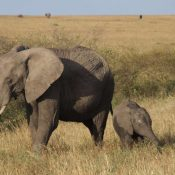 UK Government steps up with a comprehensive ban on ivory trade