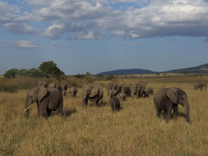 Herd of savannah elephants
