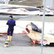 Iceland's brutal hunting of endangered whales resumes