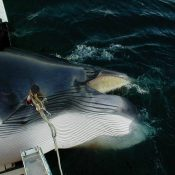 Whale advocates condemn start of Norwegian hunt
