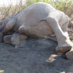 Elephant Hope poached in Kenya