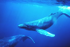 Humpback whales, by NOAA