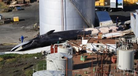 Fin whale being landed at Hvalfjordur whaling station, Icleand (c) EIA