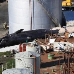 Dead whale at factory