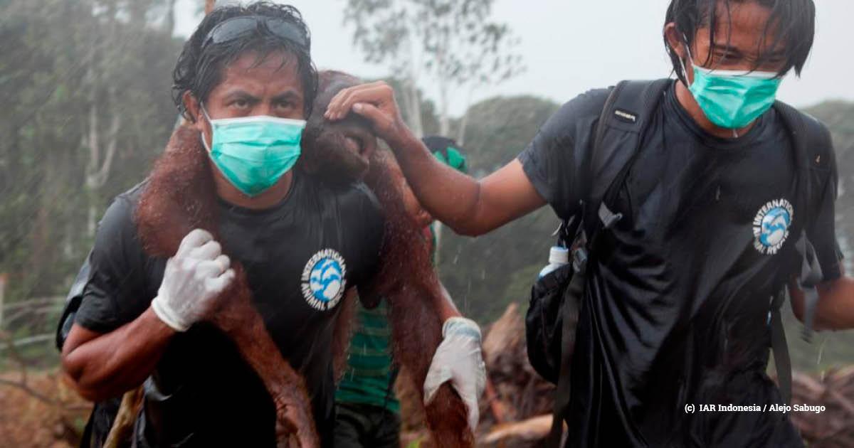 indonesia orangutan rescue (c)  IAR Indonesia and Alejo Sabugo