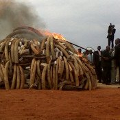 Mass ivory burning shows the way ahead