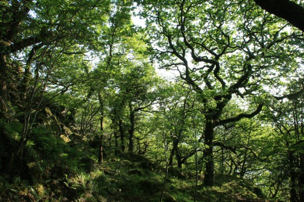 Oak tree Snowdonia - Credit Jason Cheng