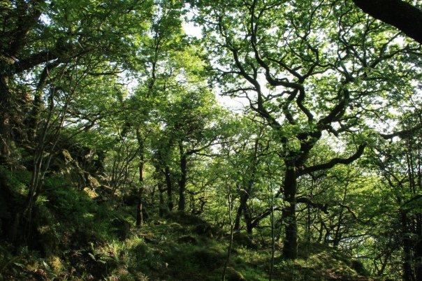 Oak tree Snowdonia - Credit Jason Cheng