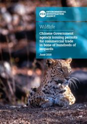 Down to the bone: China's alarming trade in leopard bones