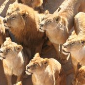 Evidence to CITES shows irresponsible lion bone trade drives consumer demand for big cat parts