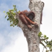 HSBC bankrolls deforestation, pushing orangutans to brink