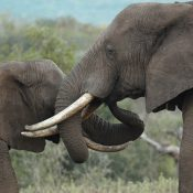 Taking stock of progress to combat elephant poaching and illegal ivory trade