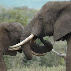 Malawi elephants
