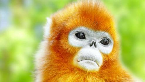 Snub-nosed monkey, Myanmar