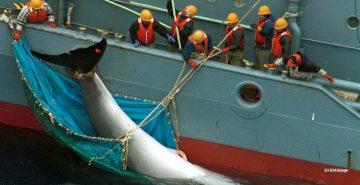 A dead minke whale being taken onto a Japanese boat
