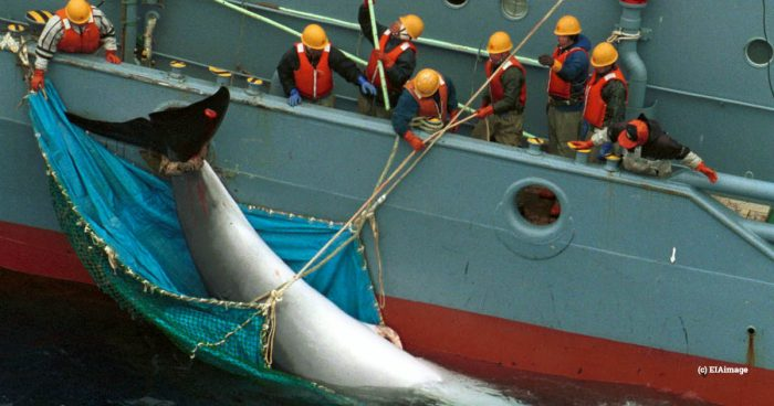 A dead minke whale being taken onto a Japanese boat