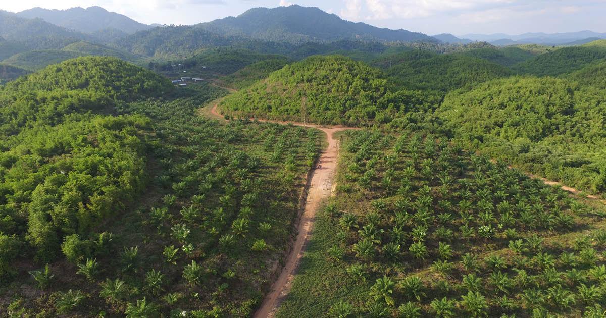 myanmar oil palm plantation