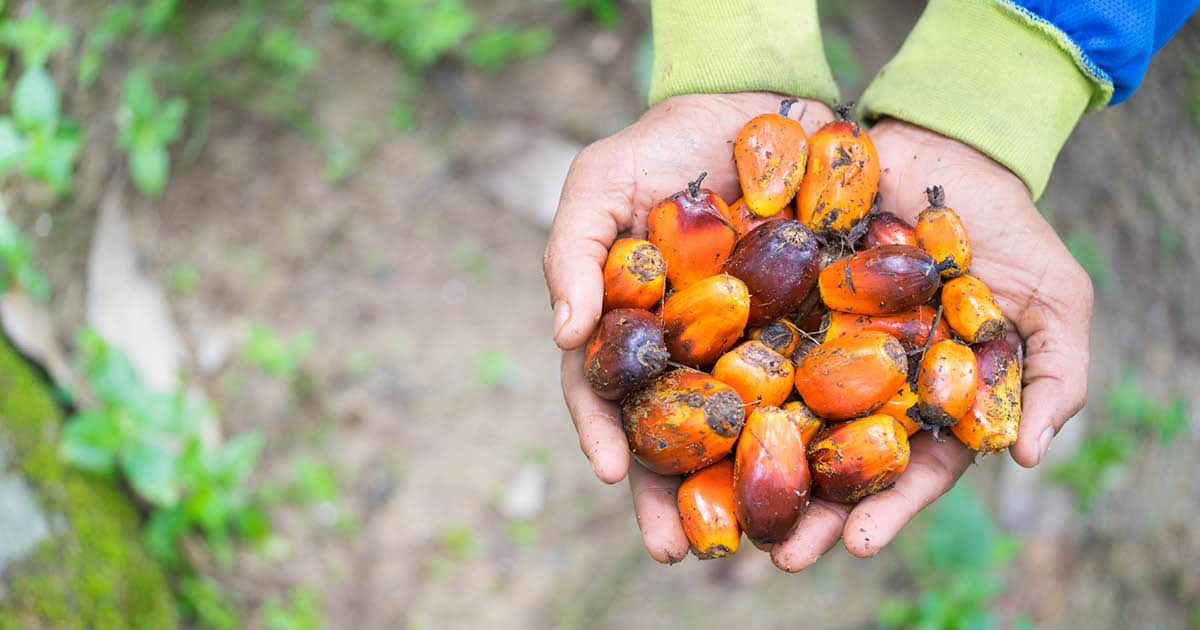 oil palm fruits - Shutterstock