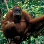 Help us stop palm oil pushing orangutans over the edge