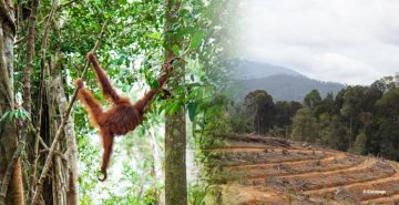 orangutan forest loss palm oil