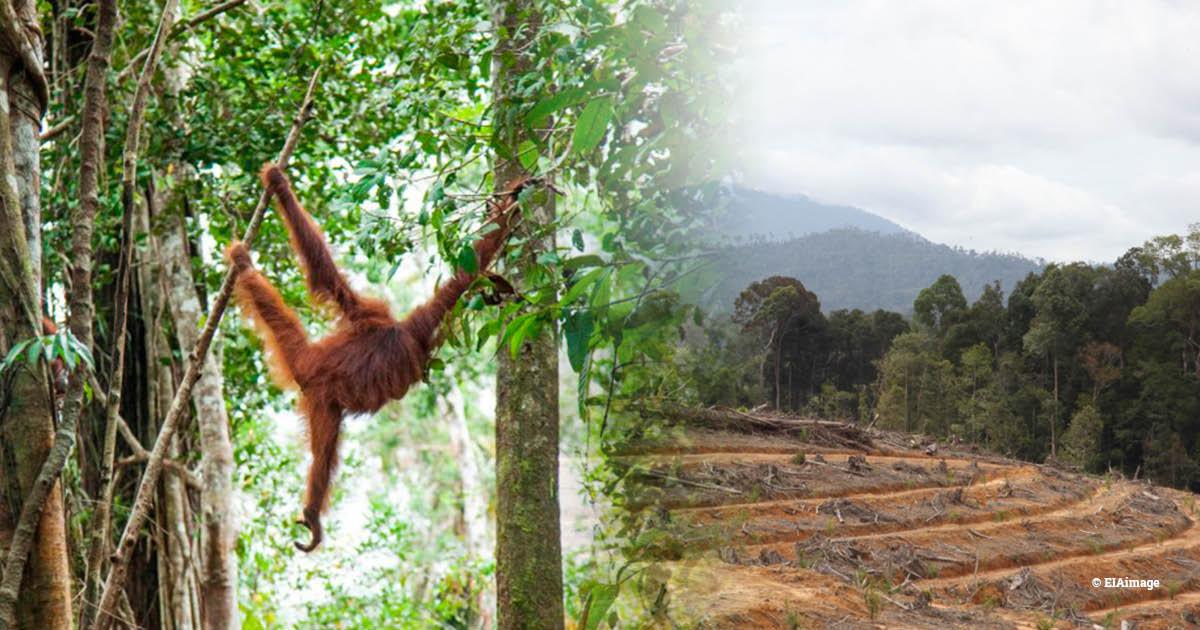 orangutan forest loss palm oil