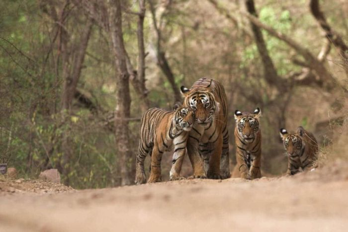 Tiger and three tiger cubs in a forest