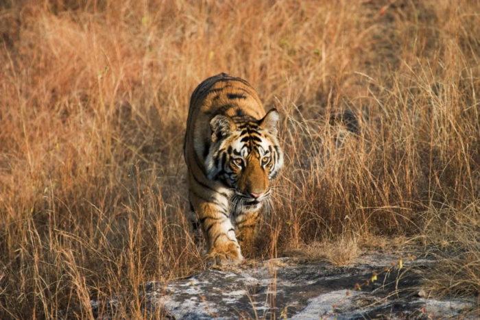 Tiger walking through grassland