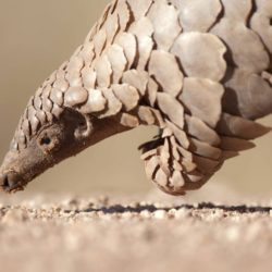Pangolin close up
