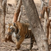 CITES: 'Short shrift for the tiger and Asian big cats'