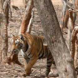 Tigress T17, Ranthambore National Park, India.