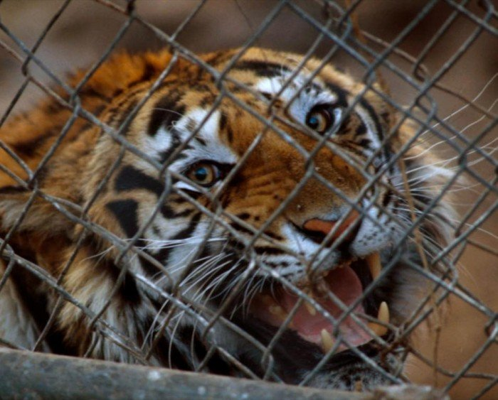 Caged tiger (c) EIA