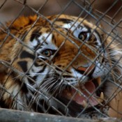 Wild tigers can't afford China's half-baked commitments