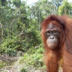 Orangutan in a forest