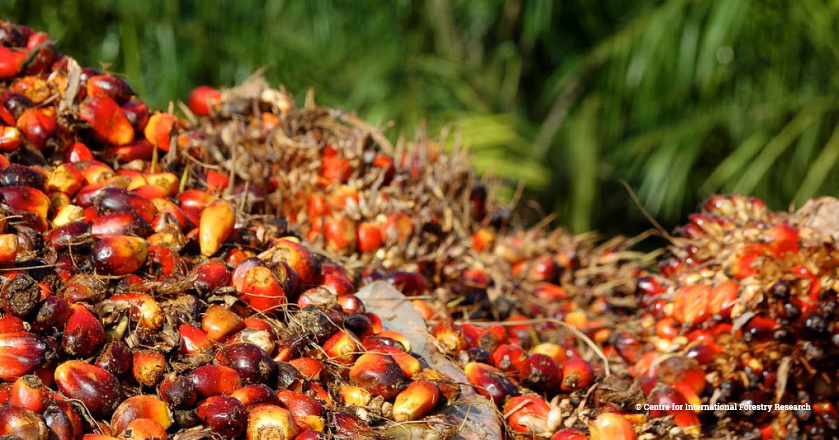 palm oil fruits (2)