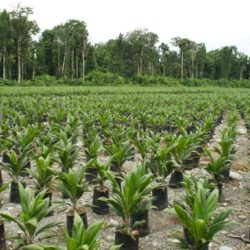 Oil palm plantation in Indonesia (c) EIAimage