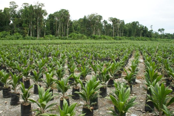 Oil palm plantation in Indonesia (c) EIA