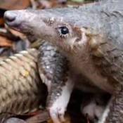 Armoured against predators – except wildlife criminals