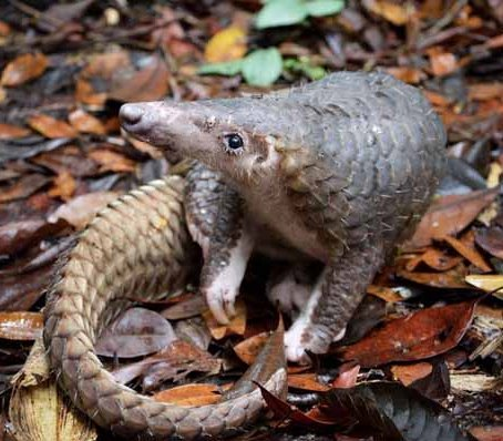 pangolin cropped