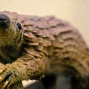 Pangolins are in dire need of tougher CITES protection