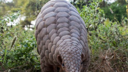 A Pangolin in its natural environment