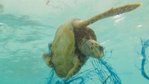 Turtle caught in fishing net