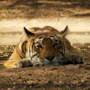 Tigers on TV: Debbie Banks comments on the latest tiger activities – monsoons, media and monitoring